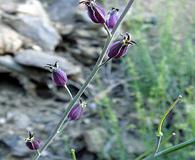 Caulanthus amplexicaulis