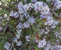 Ceanothus pinetorum