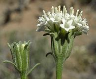 Chaenactis xantiana