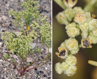 Chenopodium nevadense