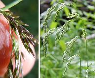 Cinna latifolia