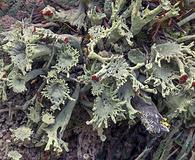 Cladonia multiformis
