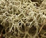 Cladonia portentosa