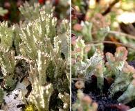 Cladonia ramulosa