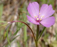 Clarkia gracilis