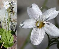 Claytonia cordifolia
