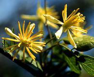 Clematis pauciflora