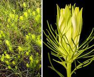 Cordylanthus wrightii