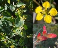 Cottsia californica