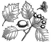 Crataegus macrosperma
