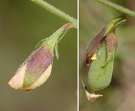 Crotalaria purshii