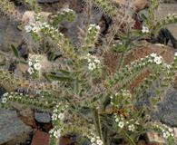 Cryptantha angustifolia