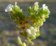 Cryptantha micrantha