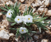 Cryptantha similis