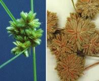 Cyperus acuminatus