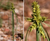 Cyperus fendlerianus