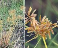 Cyperus filicinus