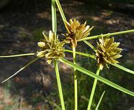 Cyperus niger