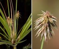 Cyperus plukenetii