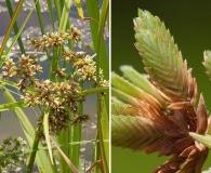 Cyperus virens