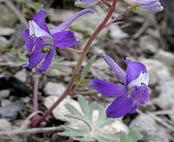 Delphinium decorum