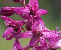 Delphinium purpusii