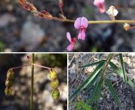 Desmodium arizonicum