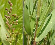 Dichanthelium oligosanthes
