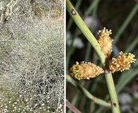 Ephedra californica