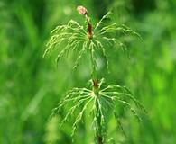 Equisetum pratense