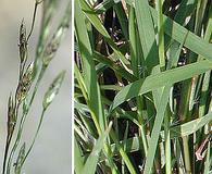 Eragrostis pectinacea
