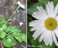 Erigeron howellii