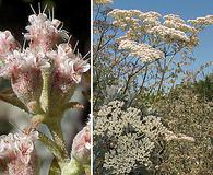 Eriogonum giganteum