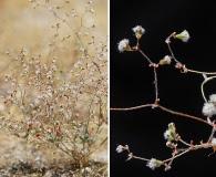 Eriogonum gossypinum