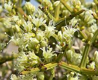 Eriogonum heermannii