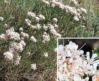 Eriogonum leptophyllum