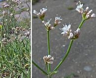 Eriogonum lonchophyllum