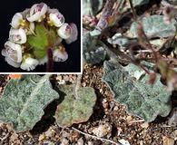 Eriogonum thurberi