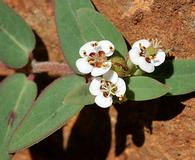 Euphorbia capitellata
