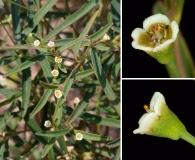 Euphorbia curtisii