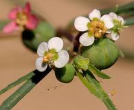 Euphorbia florida