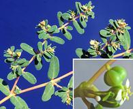 Euphorbia glyptosperma