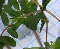 Euphorbia humistrata