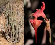 Euphorbia lomelii