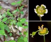 Euphorbia mercurialina