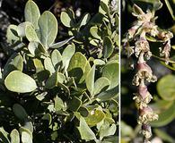 Garrya buxifolia