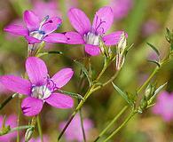 Gilia leptantha