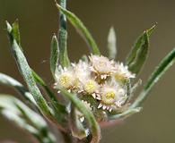 Gnaphalium exilifolium