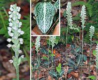 Goodyera pubescens