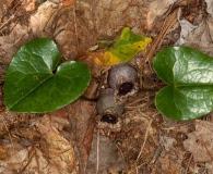 Hexastylis heterophylla